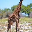 Stock Photo: Giraffe in EtoshNational Park, Namibia