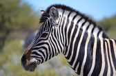 Zebra in the Etosha National Park, Namibia — Stock Photo