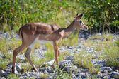 Black Face Impala in Etosha National Park, Namibia — Stock Photo