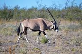 Oryx im Etosha NP — Stock Photo