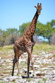 Giraffe in the Etosha National Park, Namibia — Stock Photo