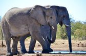 Elephants in the Etosha National Park — Stock Photo