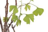 Isolated Ginko bonsai tree — Stock Photo