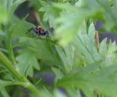 Jumping spider on leaf — Stock Photo