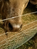 Cow head — Stock Photo