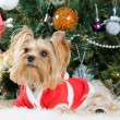 Cute Yorkshire Terrier in front of Christmas tree — Stock Photo #16771975
