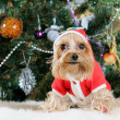 Cute Yorkshire Terrier in front of Christmas tree - Foto Stock