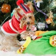 Cute Yorkshire Terrier in front of Christmas tree — Stock Photo #16772251
