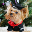Cute Yorkshire Terrier in front of Christmas tree — Stok fotoğraf