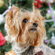 Cute Yorkshire Terrier in front of Christmas tree — Stock Photo #16773123