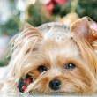 Cute Yorkshire Terrier in front of Christmas tree — Stock Photo #16773451