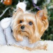Cute Yorkshire Terrier in front of Christmas tree -  