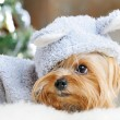 Cute Yorkshire Terrier in front of Christmas tree — Stock Photo #16773625