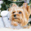 Stock Photo: Cute Yorkshire Terrier in front of Christmas tree