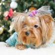 Cute Yorkshire Terrier in front of Christmas tree — Stock Photo