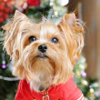 Cute Yorkshire Terrier in front of Christmas tree — Stock Photo #16773871