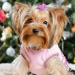 Cute Yorkshire Terrier in front of Christmas tree — Stock Photo #16773945