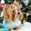 Cute Yorkshire Terrier in front of Christmas tree — Stock Photo #16774047