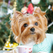 Cute Yorkshire Terrier in front of Christmas tree — Stock Photo #16774091