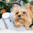 Cute Yorkshire Terrier in front of Christmas tree — Stock Photo #16859283
