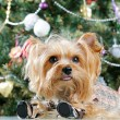Cute Yorkshire Terrier in front of Christmas tree — Stock Photo #16859391