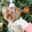 Cute Yorkshire Terrier in front of Christmas tree — Stock Photo #16859423