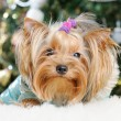 Cute Yorkshire Terrier in front of Christmas tree — Stock Photo #16859745