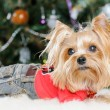 Cute Yorkshire Terrier in front of Christmas tree - Zdjęcie stockowe