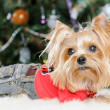 Cute Yorkshire Terrier in front of Christmas tree — Stock Photo #16860653