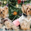 Cute Yorkshire Terrier in front of Christmas tree — Stock Photo #16860857