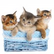 Three cute somali kittens isolated on white background — Stock Photo