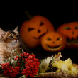 Scary halloween pumpkin and somali kitten — Stock Photo