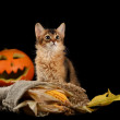 Scary halloween pumpkin and somali kitten — 图库照片