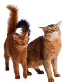 Two somali cats isolated on white background — Stock Photo