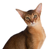 Abyssinian young cat isolated on white background — Stock Photo
