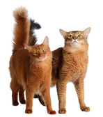 Two somali cats isolated on white background — Stock Photo