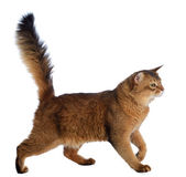 Somali cat isolated on white background — Stock Photo