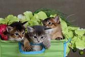 Three cute somali kittens isolated — Stock Photo