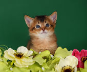 Cute somali kitten on the green background — Stock Photo