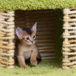 Portrait of cute somali kitten — Stock Photo #37145825
