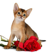 Valentine theme kitten with red rose — Stock Photo
