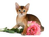 Valentine theme kitten with pink rose — Stock Photo