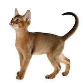 Beyaz arka plan üzerinde izole şirin kedi yavrusu — Stok fotoğraf