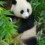 Hungry giant panda bear eating bamboo — Stock Photo #39381127