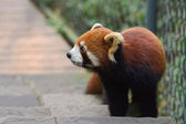 Portrait of a Red Panda. — Stock Photo