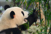 Hungry giant panda bear eating bamboo — Stock Photo