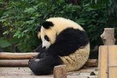 Giant panda bear — Foto de Stock