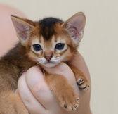 Porträtt av en söt abessinier kattunge — Stockfoto