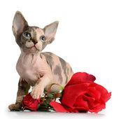 The Canadian sphynx with rose — Stock Photo