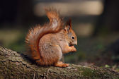 Little red squirrel — Stock Photo